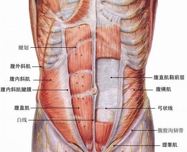 腹肌在哪图
