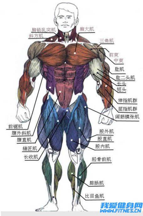 人体肌肉组成