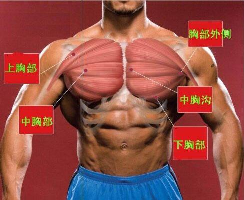 胸肌上部图