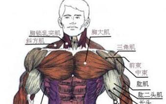 健身必备知识之人体肌肉组成